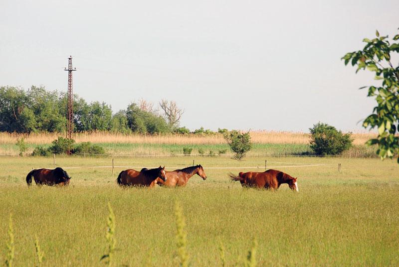 Ungarn: Frei laufende Pferde in der Puszta