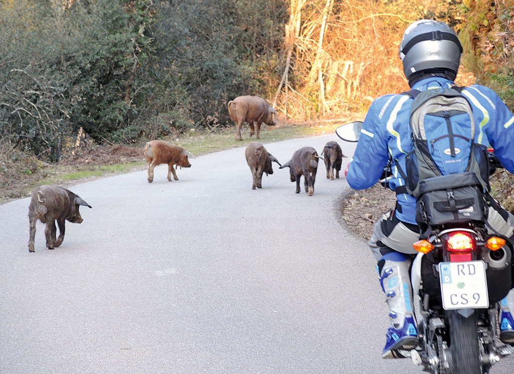 Endurotour Korsika lebendige Schweine