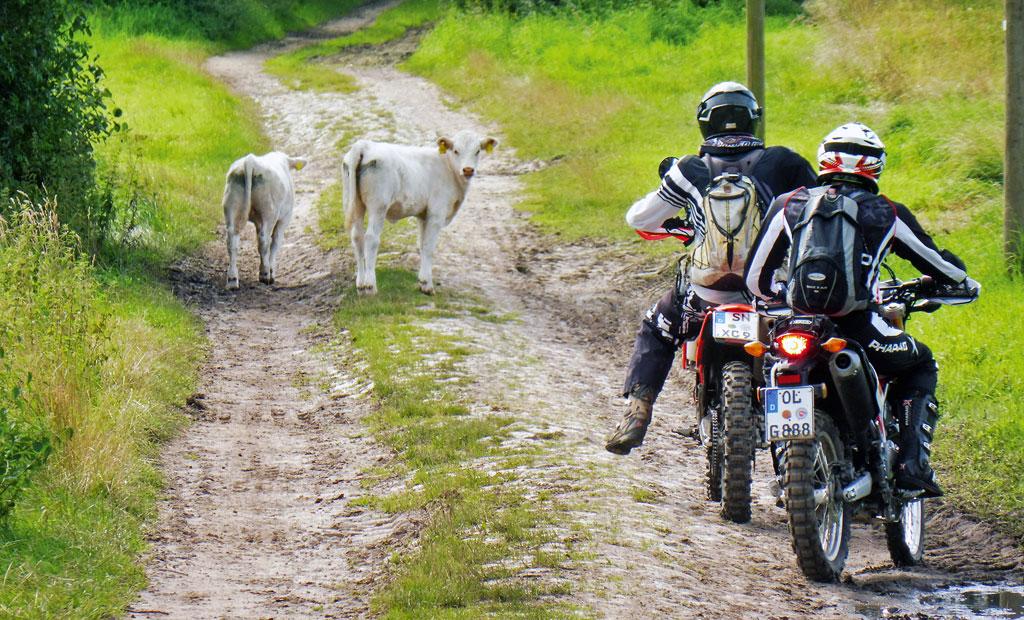 Ganz langsam, die Rinder weichen aus - Endurotour Mecklenburg Vorpommern