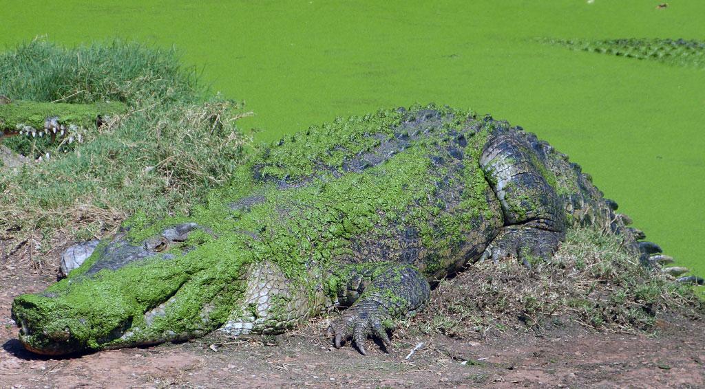 Gut getarntes Krokodil in Australien - www.bikeandtravel.de