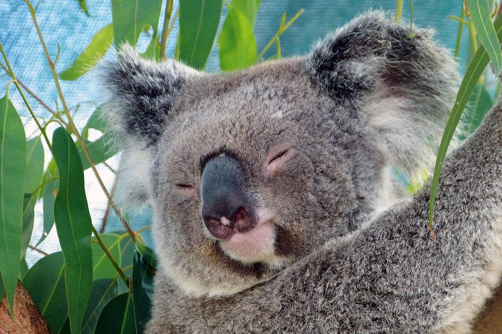 Koala in Australien - www.bikeandtravel.de